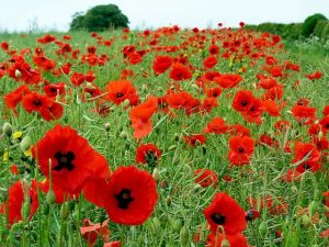 A large poppy field