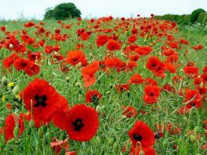 A large poppy field