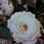 A slarge white rose